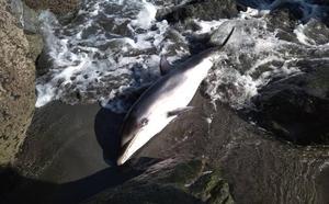 Muere un delfín varado en la playa de Barayo