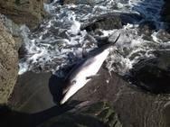 Muere un delfín en la playa de Barayo
