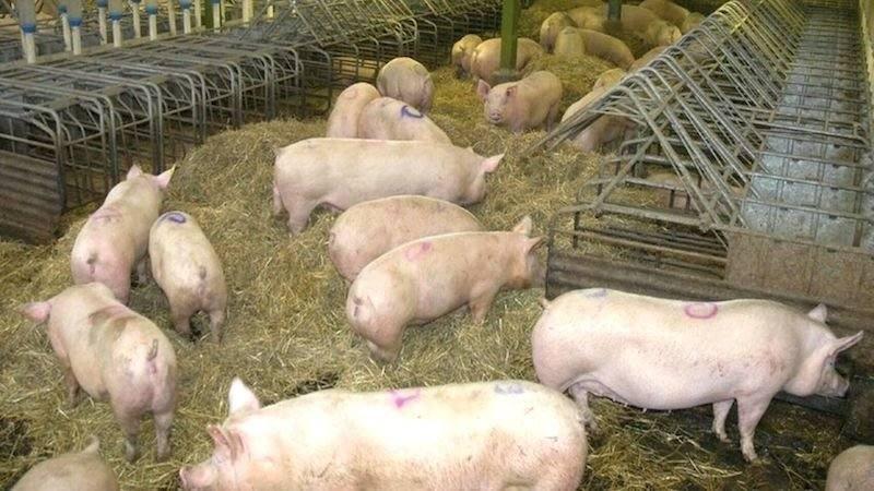 Una mujer muere devorada por sus cerdos cuando les daba de comer en una granja de Rusia