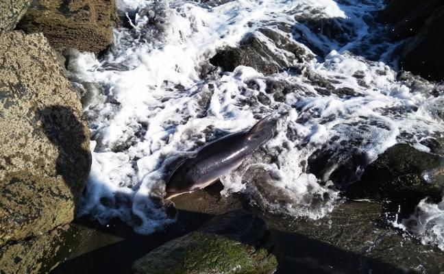 Muere el delfín varado en la playa de Barayo
