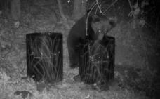 Los osos se hacen nocturnos