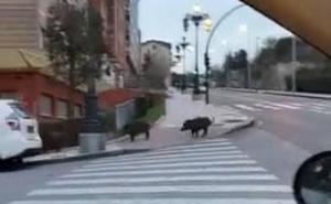 Cuatro jabalíes, de paseo por Oviedo