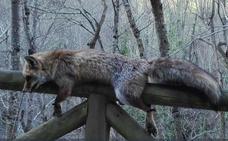Aparece atado el cadáver de un zorro en una valla del Parque Natural de Las Ubiñas-Mesa