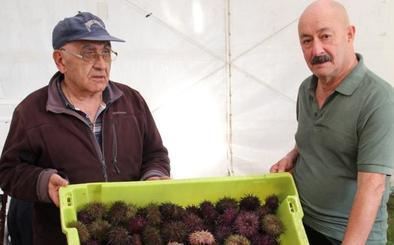 El festival de Bañugues saca a la venta más de dos mil kilos de oricios, a 16 euros la docena