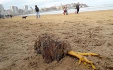 Una gallina decapitada causa expectación en la playa de San Lorenzo