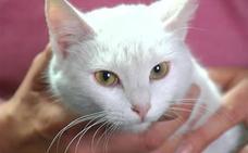 'Misi', la gata salvadora de La Coruña