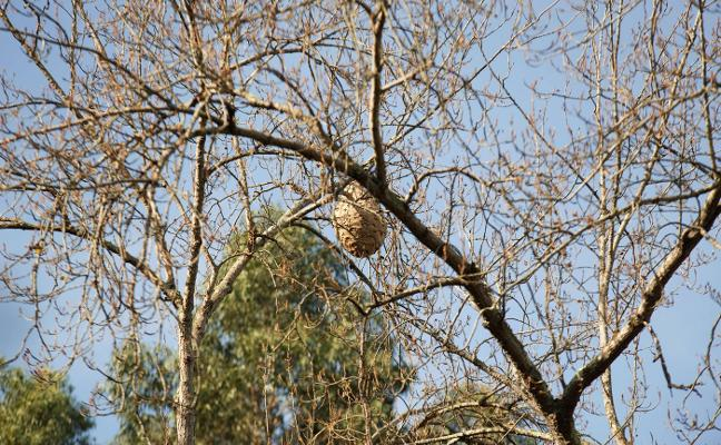 80 nidos de avispa asiática retirados en Gijón en un año