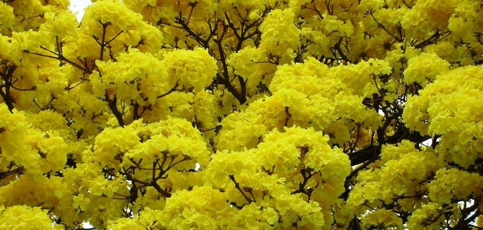 Mimosa: una especie exótica invasora