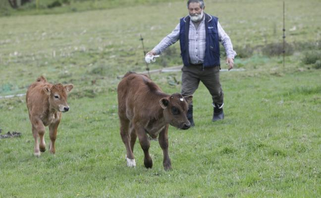 Una vaca con dos terneros de distintos padres y madres