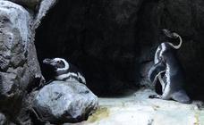 Los pingüinos de Magallanes se van del acuario de Gijón