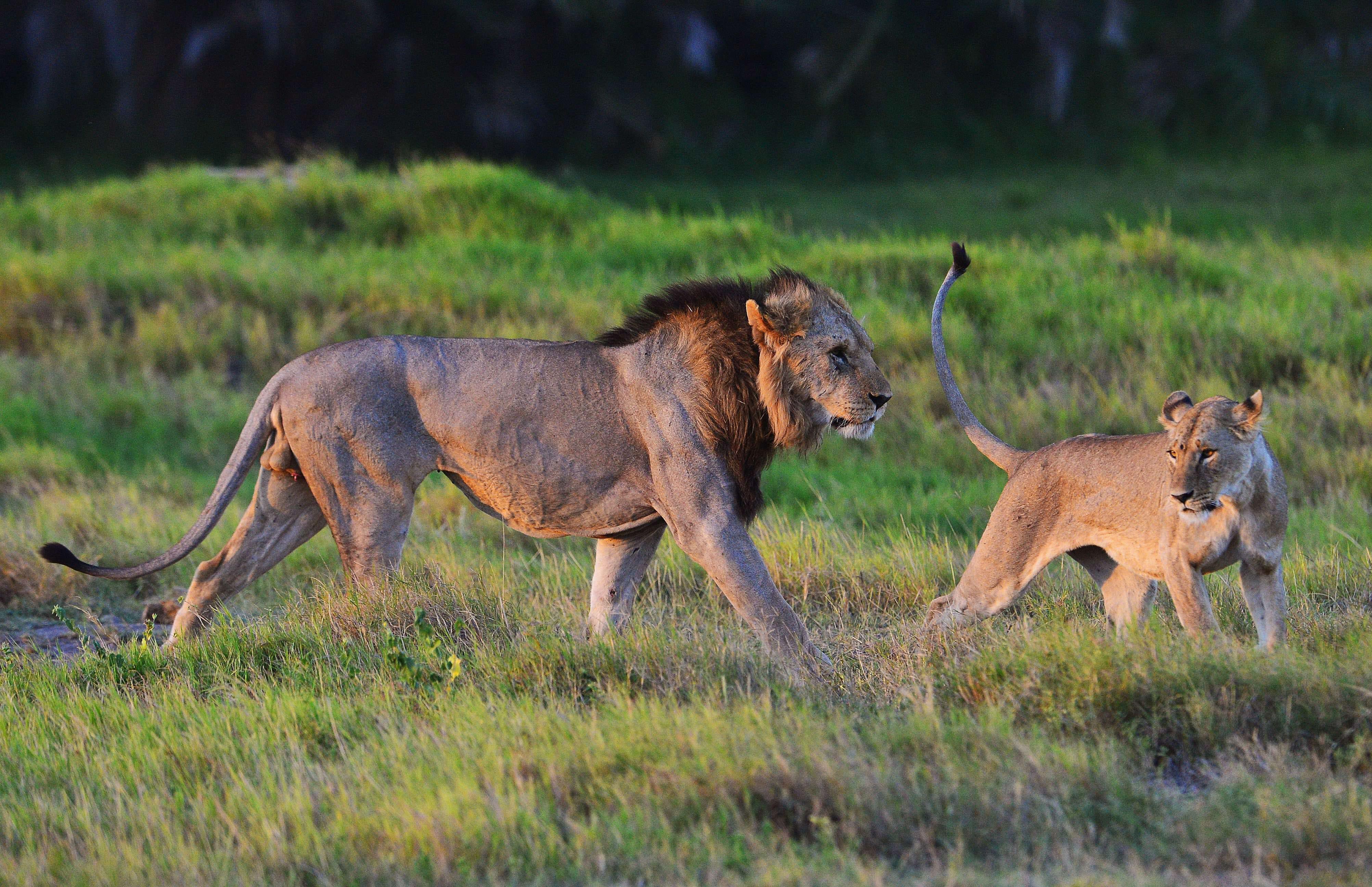 Un cazador furtivo muere por el ataque de un elefante y es devorado por los leones