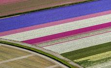 Campos de tulipanes multicolor