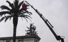 Villaviciosa actúa sobre 20 palmeras para prevenir la plaga del picudo rojo