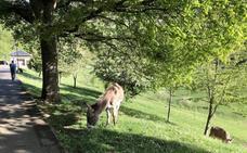 Dos burros sueltos por la pista finlandesa de Oviedo