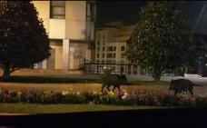Dos jabalíes, de paseo nocturno por la Losa de Oviedo
