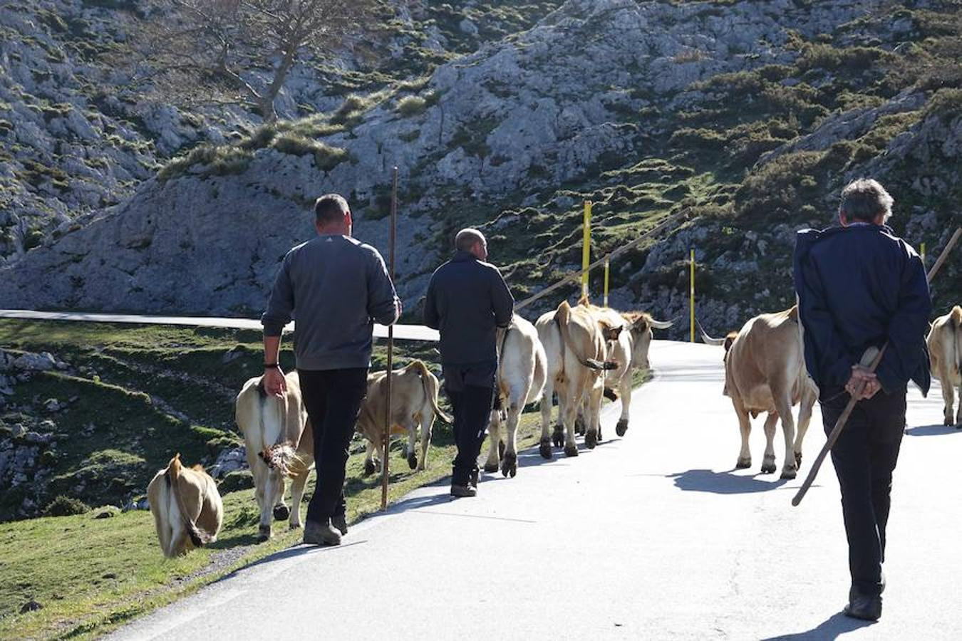 Subida de reses a la Montaña de Covadonga