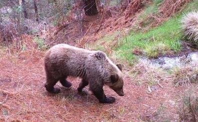 Restringen el acceso de turistas al parque de Fuentes del Narcea para no molestar a los osos
