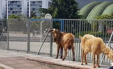 Encuentran una cabra y un cabrón pastando por Oviedo