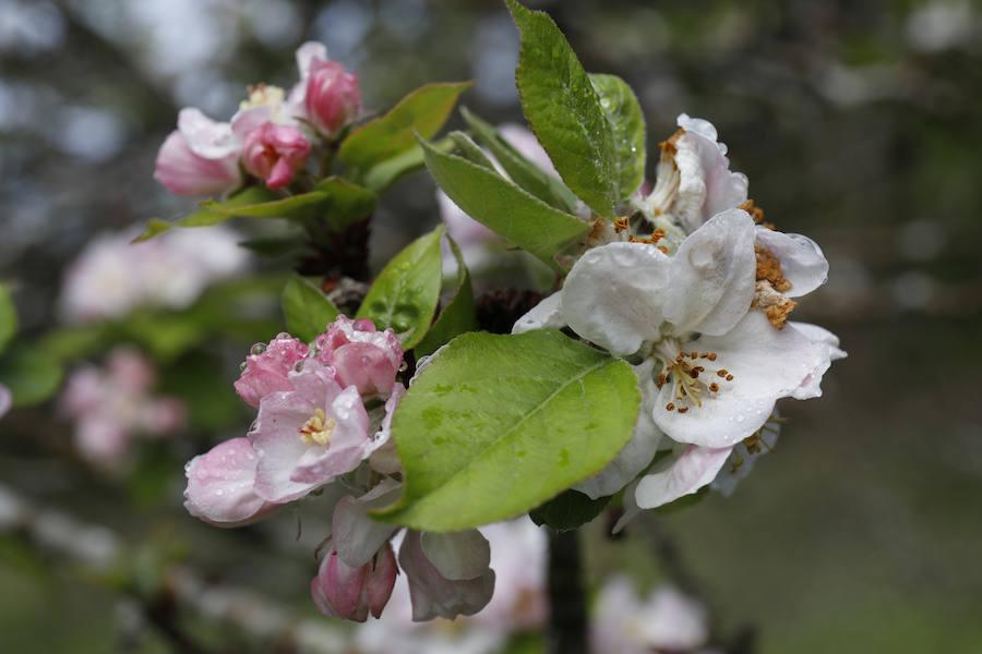 La belleza de los manzanos en flor en Asturias, ¿no es espectacular?