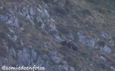 Graban a una pareja de osos apareándose en el Parque de Somiedo