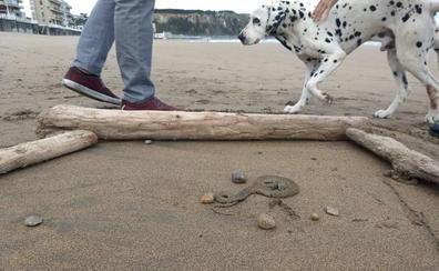 Una serpiente de collar, de la playa de Salinas al pinar