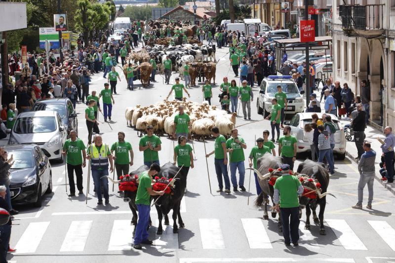 600 animales desfilan por las calles de Posada de Llanera en la Feria de San Isidro