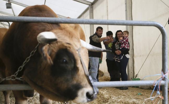 Más de doscientas reses participaron en el concurso de raza casina en Nava