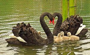Roban de madrugada una pareja de cisnes negros y su cría en Gijón