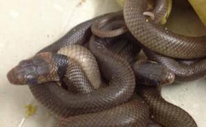 La OMS se propone reducir a la mitad las muertes por mordedura de serpiente