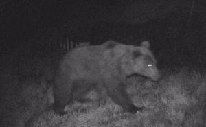 Graban a un oso buscando miel en Jomezana de Arriba, en Lena
