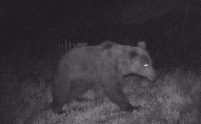 Graban a 'Magnus', un oso buscando miel en Jomezana de Arriba, en Lena