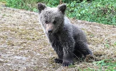 El Principado rescata una cría de oso abandonada por su madre en Santo Adriano