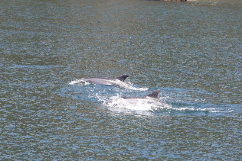Una manada de delfines visita el puerto deportivo de Avilés