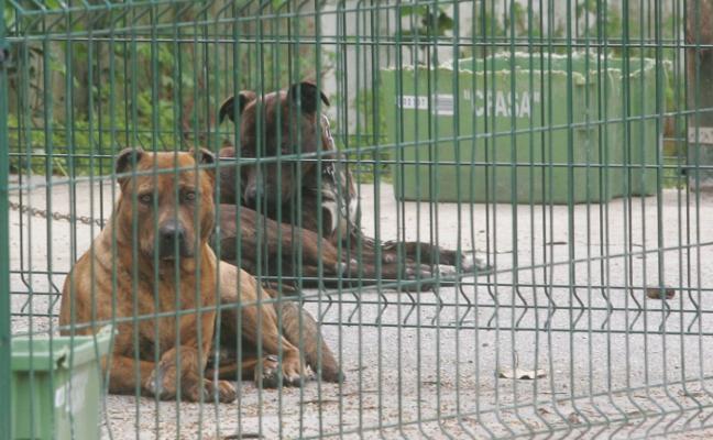 El pitbull que mordió a una niña en el cuello en Gijón llegó a romper una puerta