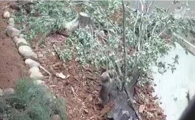 La osezna rescatada en Santo Adriano ya corretea en busca de alimento