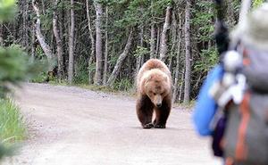 664 ataques de oso pardo a seres humanos entre 2000 y 2015