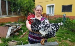 El gallino, un gallo que fue gallina