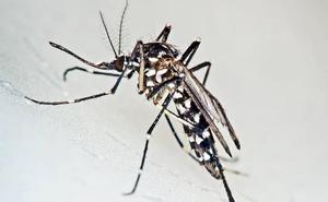 Tres turistas islandeses, infectados de Chikungunya durante unas vacaciones en España