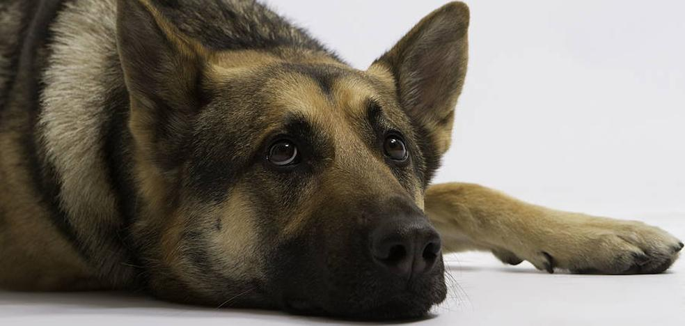 Shella, la perra que lleva más de un año esperando a su dueño en la puerta de prisión