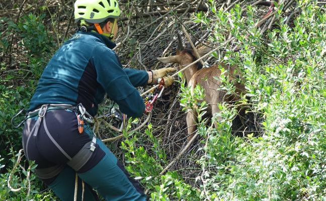Operación de rescate en un talud para salvar a una cabra en Arriondas