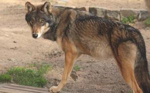 Los lobos llegan al zoo El Bosque de Oviedo