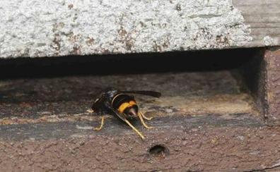 «En un par de años la apicultura se va al traste por culpa de la avispa asiática»