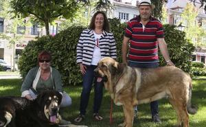 Sesenta canes competirán en el X monográfico del mastín de la Pola
