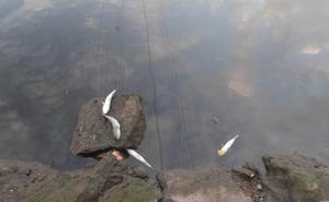 Aparecen centenares de peces muertos en la ría