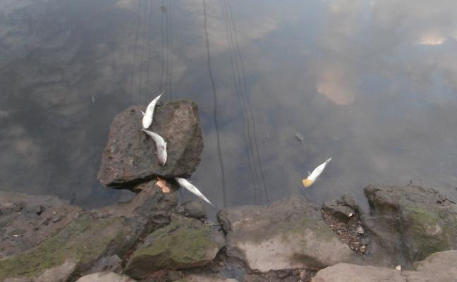 Cientos de peces aparecen muertos en la ría de Avilés
