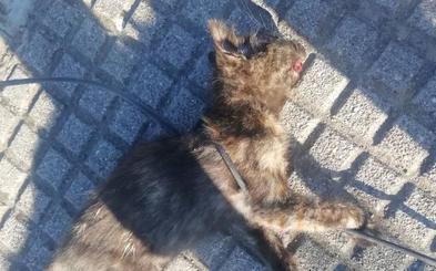 Arrastran hasta la muerte a un cachorro de gato atado con un cable de la luz en León