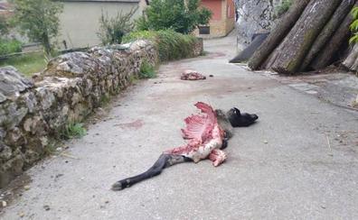 El lobo devora una oveja en el pueblo de Villamorey, en Sobrescobio