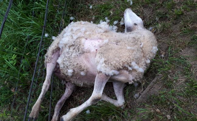 Los lobos matan a cuatro ovejas en el pueblo de Veneros, en el concejo de Caso