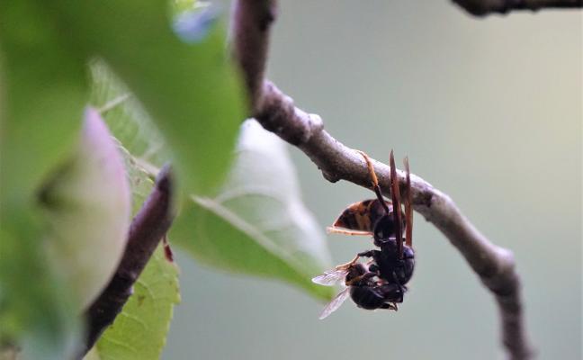 Los apicultores tachan de «erróneas» las acciones contra la avispa asiática