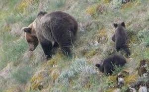 Prohibido el acceso a un camino en Somiedo para proteger a osos de turistas